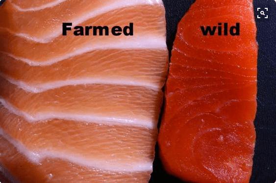 Pilih salmon liar. Foto: stethnews.com