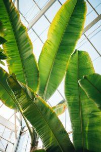 daun pisang pembungkus makanan
