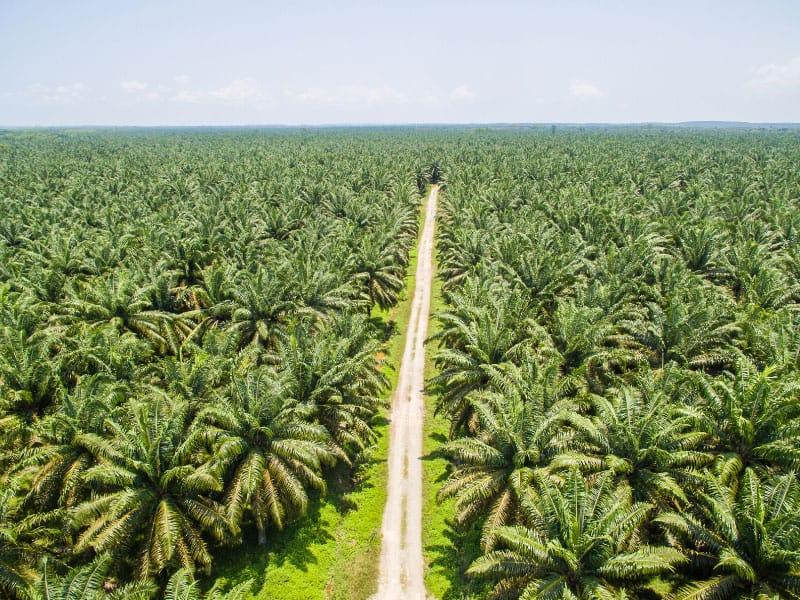 kelapa-sawit-indonesia