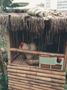 Salah satu ayam hias yang dipelihara di areal sawah